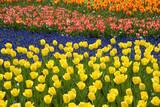 Rows of Tulips in Keukenhof Gardens