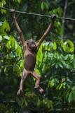 A Sick Baby Orangutan (Pongo Pygmaeus) at the Sepilok Orangutan Rehabilitation Center