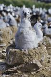 Albatross Chick on Nest