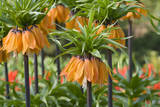Orange Bloms Orange Perfection Fritillaria Imperialis