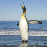 King Penguin Coming out of Sea