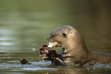 River Otter Eating a Fish