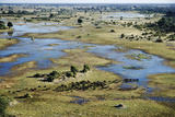 Aerial View of Herd of African Buffalo