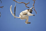 Verreaux's Sifaka Leaping from Tree