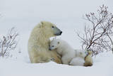Polar Bear Mother with Her Cubs