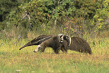 Anteaters Carrying their Young