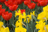 Gold Medal Narcissus and Red Paradise Tulips