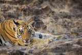 Bengal Tiger Cub Lying on Rocky Ground