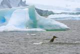 Killer Whale Diving near Penguin on Iceberg