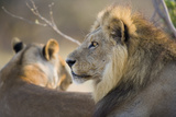 Lion Mating Pair Resting