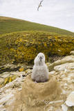 Black-Browed Albatross Chick Sitting on Nest