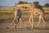 Giraffe Bending over Giraffe with Splayed Legs