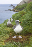 Grey-Headed Albatross with Chicks