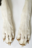 Great Dane Paws