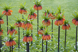 Orange Mozart Fritillaria Imperialis