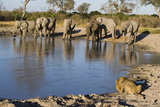 Elephants and Male Lion Drinking at Water Hole