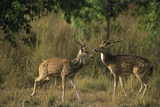 Chital Deer Bucks Fighting