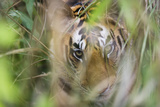 Bengal Tiger Cub Hiding in Tall Grass