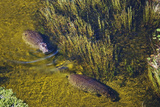 Aerial View of Hippopotamuses