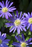 Blue Star Anemone