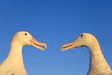 Wandering Albatrosses Courting