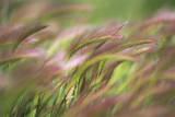 Foxtail Meadow
