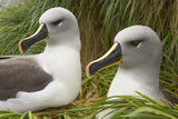 Pair of Mated Grey-Headed Albatross Adults