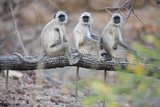 Gray Langurs Perched on Tree Limb