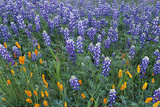 Lupines and Poppies in a Meadow