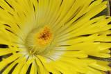 Yelow Fig-Marigold
