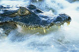 Caiman Waiting in Running Water
