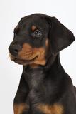 Doberman Pinscher Puppy