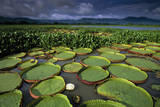 Water Lilies on the Pantanal Wetlands