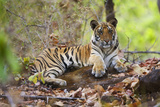 Bengal Tiger Cub Resting in Monsoon Forest