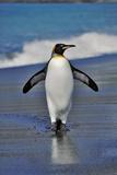 King Penguin on the Beach