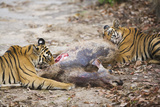 Two Bengal Tigers Feeding on Fresh Sambar Deer Kill