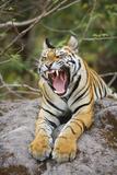 Bengal Tiger Cub Yawning