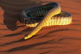 Woma Python in Australian Desert