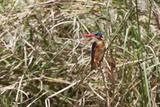 Malachite Kingfisher (Alcedo Cristata)  Samburu  Kenya