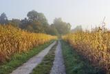 Rural Road through Maize Field