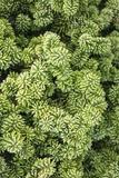Spruce Shrub Close-Up  Washington  USA