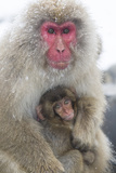 Japanese Macaque with Baby