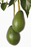 Avocados Hanging from Tree