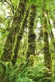 Moss-Covered Trees in North American Rainforest