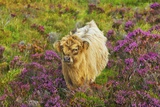 Highland Cattle Calf in Heather