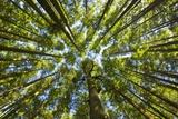 Old Growth Cedar  Hemlock  Fir and Sitka Spruce Forest in Fall