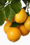 Oranges Hanging from Tree