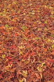 Maple Leaves Carpet Covered in Frost Mill Creek  Washington  USA