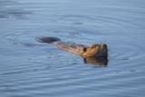 Beaver Swimming in Pond Papier Photo par Momatiuk - Eastcott