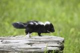 Baby Skunk on Log